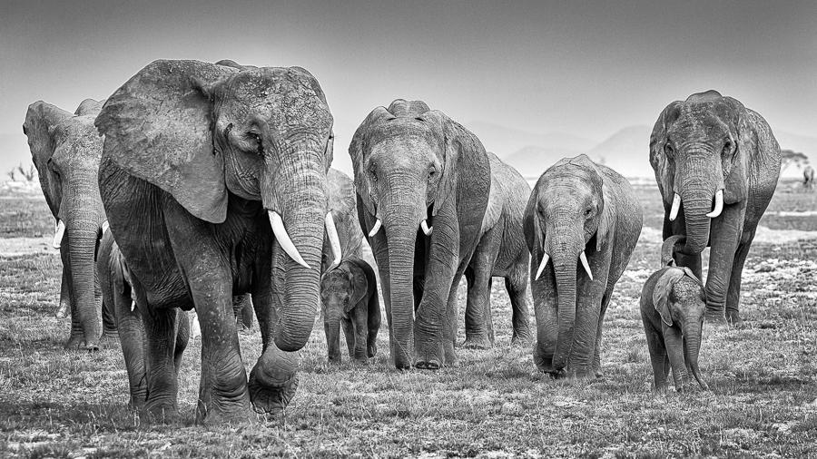 3_Elephant Herd No1 Amboseli M_ Arne Bergo