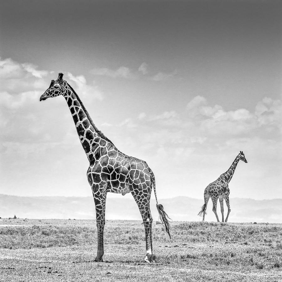 4_Girafs opposite M_Arne Bergo
