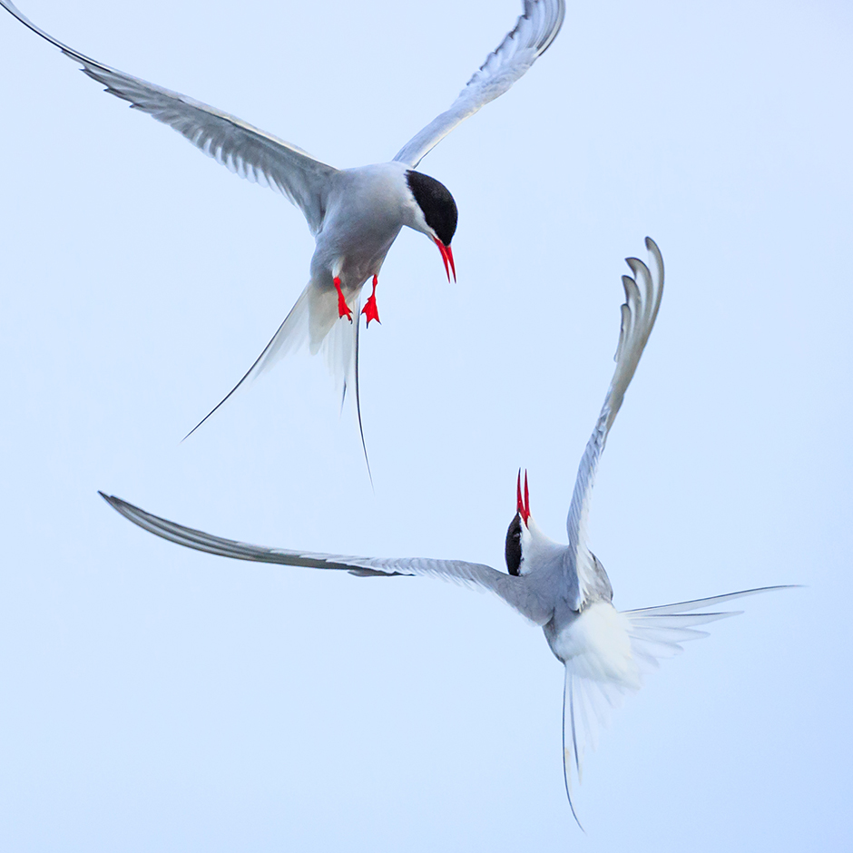 Arctic Tern Fight 1  Arne Bergo