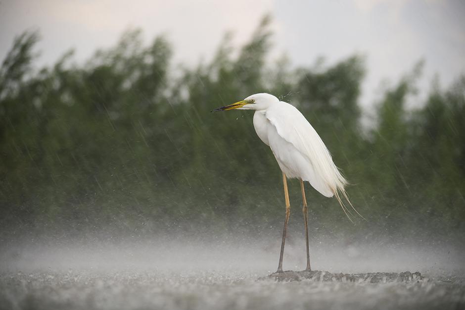 Egret in rain